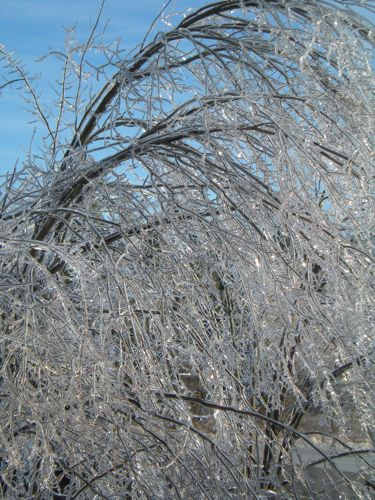 icy tree in Peterborough